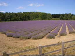 Lavender fields family activity south east England | sextons place